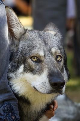Loups a la fête médiéval a Etampes